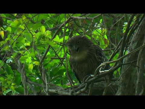 THE BROWN FISH OWL IS BECOMING ENDANGERED