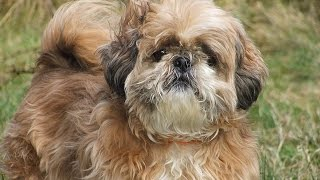***Shih Tzu Potty-Training Free-Mini Course***