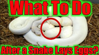 WHAT TO DO AFTER YOUR SNAKE LAYS EGGS? (STEP BY STEP) SerpentSityExotics