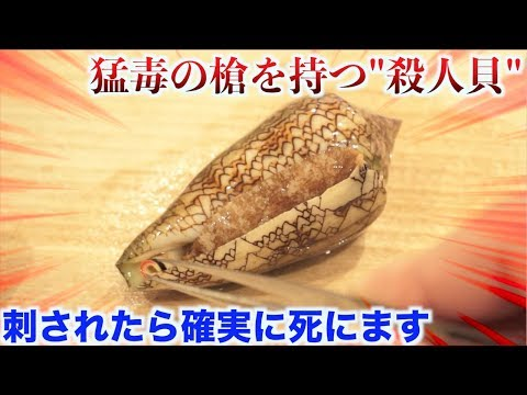 【実験】刺されたらアウトな'イモガイ'の怖さがわかる動画