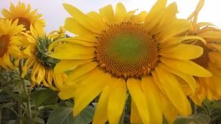 Вялость на подсолнухе: заразихи - нет; корневой гнили - нет! #Сельхозтехника ТВ