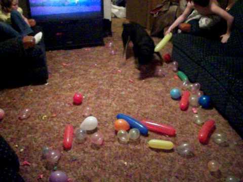 my dog harley popping balloons
