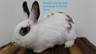 Rescued Rabbit Blossom and her Baby Bunnies Go To the Pet Store