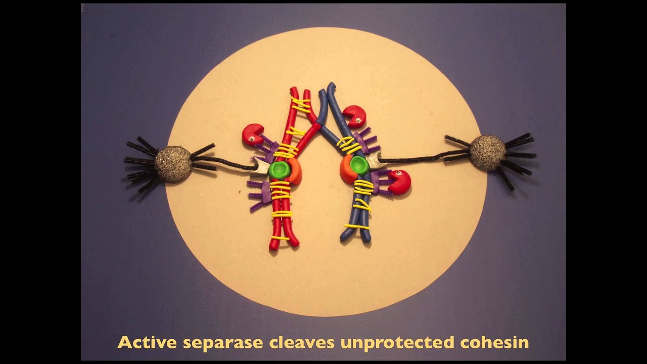 meiosis in clay youtube