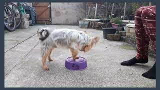 Dog Training: Zym (Australian Silky Terrier)  Intermediate/Advance Training