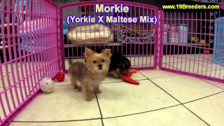 Morkie, Puppies, For, Sale, In, Minneapolis, Minnesota, Mn, Inver Grove Heights, Roseville, Cottage