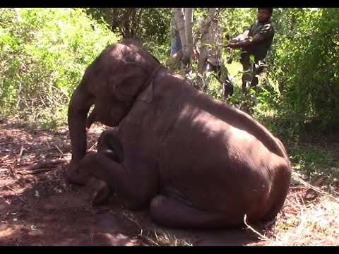 Baby elephant was rescued from elephant smugglers !