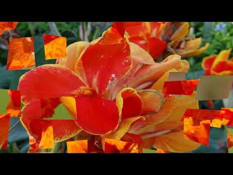 Canna flowers (HD1080p)
