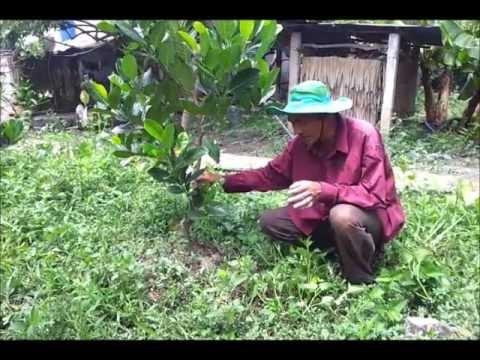 Mít thái Changai cách trồng và chăm sóc.wmv