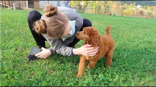 GOTCHA DAY: Red/Apricot Standard Poodle Puppy