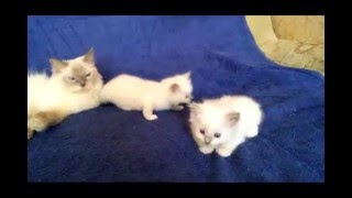 Продаются котята Ragdoll (кошка-кукла)
