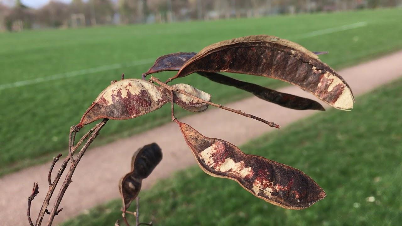Black locust pics — img 9