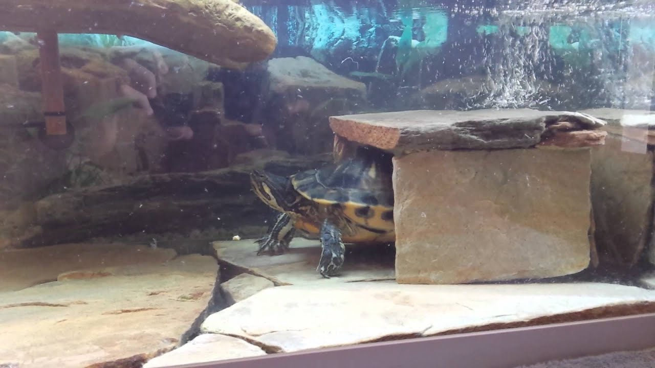 Cueva casera para tortugas acu ticas youtube for Piscina para tortugas