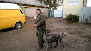 дрессировка кавказская овчарка   Алан 4мес кавказец