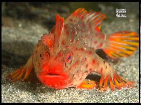 Red Handfish (Thymichthys Politus) From Tasmania, Australia - Walking