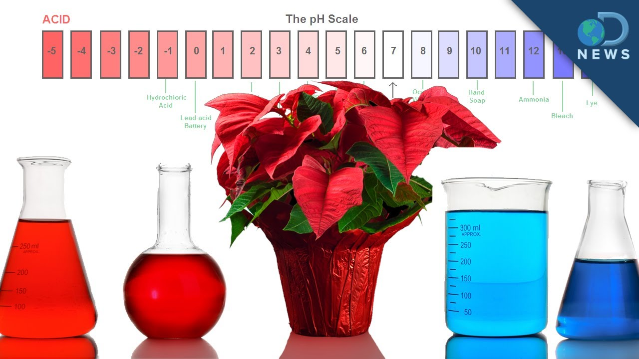 Use Poinsettias to Test for Acid - YouTube