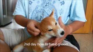 Dogs Training Singapore - Bodhi 3 months old Shiba Inu