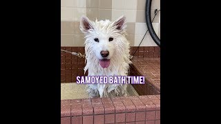 Samoyed Bath Shenanigans!