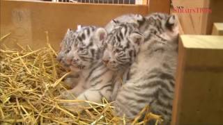 Austrian zoo unveils white tiger cubs
