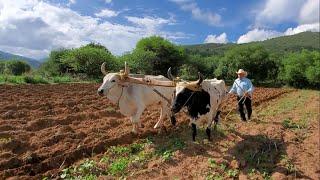 Arando con yunta de bueyes, volver al campo mexicano.