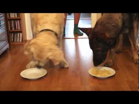 Spaghetti Eating Competition Golden Retriever Vs German Shepherd