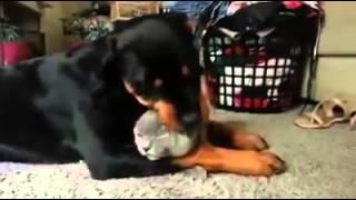 Rottweiler Loves The Cat So Much