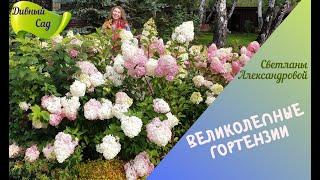 Как  добиться обильного цветения и крупных соцветий у гортензий! Секреты успеха!