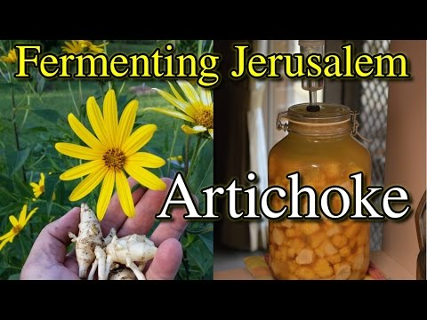 How To Ferment Jerusalem Artichoke