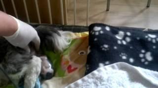 Shih Tzu First Whelp, Dog Having Puppies.