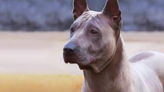 Thai Ridgeback  EXTREMELY Rare Guard Dog