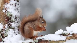 Red Squirrel Project