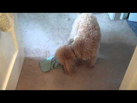 Miniature Poodle washes his face
