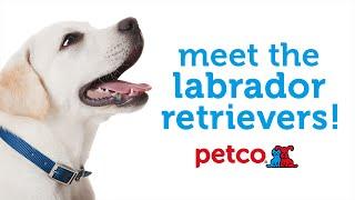 Labrador Retriever Dog Breed (petco)