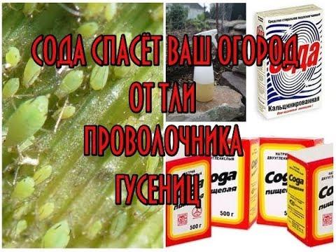 Сода против тли, муравьев, гусениц, МУЧНИСТОЙ РОСЫ и проволочника