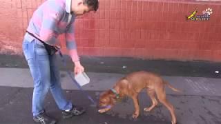 Обучение щенка риджбека, команда рядом, подробно поворот налево, на месте вторая часть