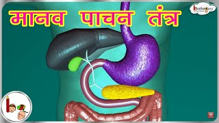 मानव पाचन तंत्र - 3D एनीमेशन | Human Digestive system Animated 3D model - in  Hindi