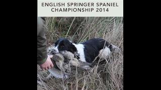 2014 English Springer Sapniel Championship Held At Dunira Estate, Scotland