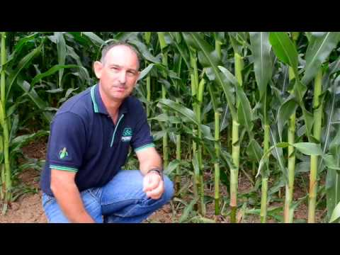 Corn plant populations  - corn silage harvest