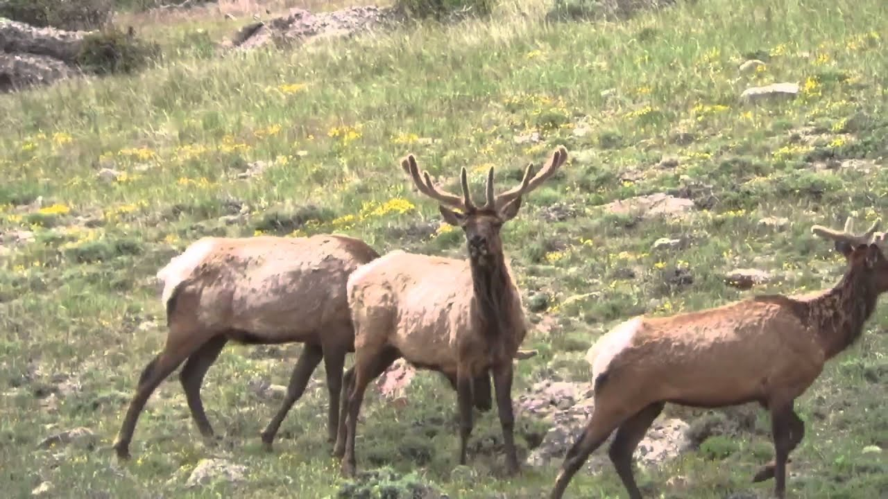 How to Hunt Elk in Colorado | Big Game Elk Hunting Seasons