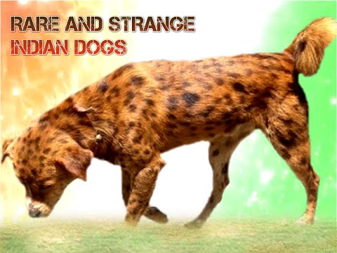 FIVE Rare And Strange  Indian Dogs you will wonder to know them
