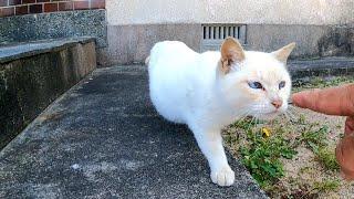 白猫ちゃん、恐る恐るモフられに来た
