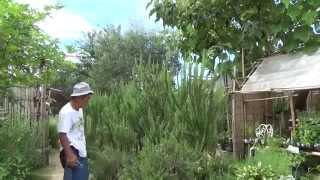 ガーデンには2mをこえる立性のローズマリーが植わっています。 大きく...