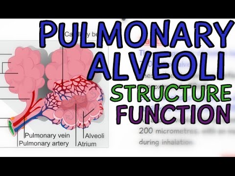 Biology Help: Pulmonary Alveolus - Alveoli of the Lungs