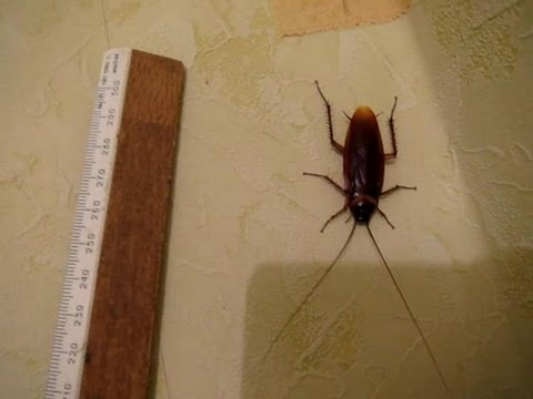 Гигантские тараканы :)