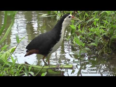 Nature Trees And  Birds - White-breasted Waterhen &  Pheasant-tailed Jacana