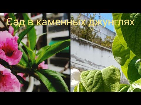 Выращиваем деревья в горшках😉😋Сад на балконе