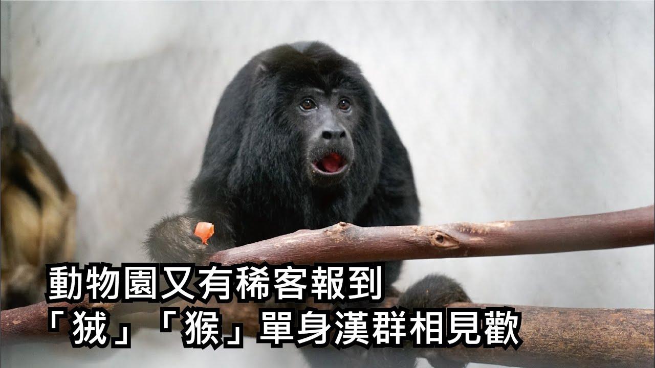 動物園又有稀客報到 「狨」「猴」單身漢群相見歡