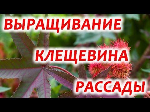КЛЕЩЕВИНА! Выращивание из семян (Видео)