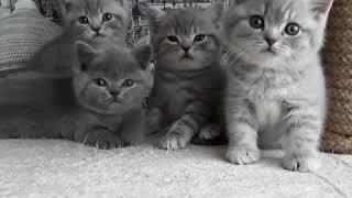 Британские котята питомник Мирасинель