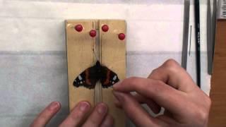 Butterfly spreading. Part 1. Jak preparować motyle.
